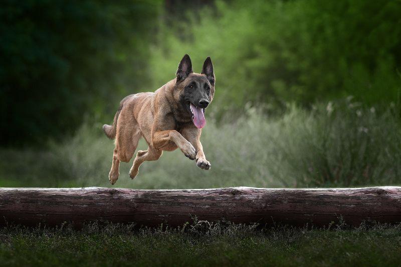 собака, животное, dog, взгляд, бельгийская овчарка, овчарка, малинуа photo preview