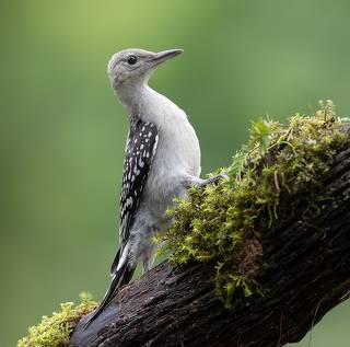 Juvenile -Red-bellied Woodpecker. Молодые Дятлы - Каролинский меланерпес
