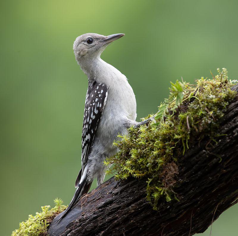 дятел, каролинский меланерпес, red-bellied woodpecker, woodpecker Juvenile -Red-bellied Woodpecker. Молодые Дятлы - Каролинский меланерпес фото превью