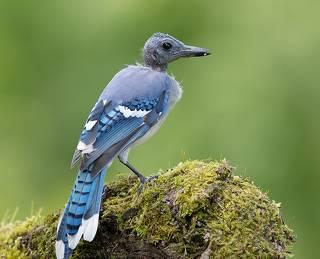 Линька - Голубых Соек, Молодые