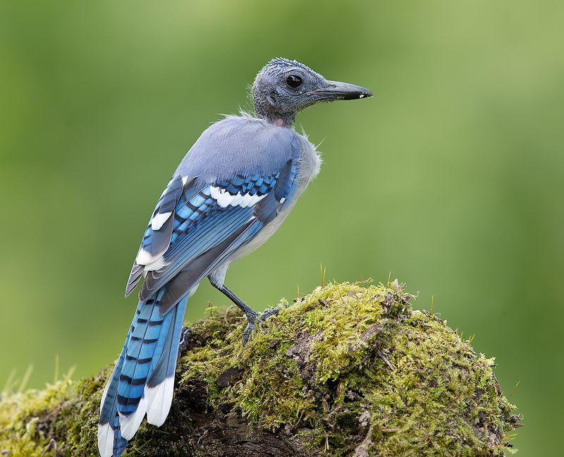 голубая сойка, blue jay, сойка, jay Линька - Голубых Соек, Молодые фото превью