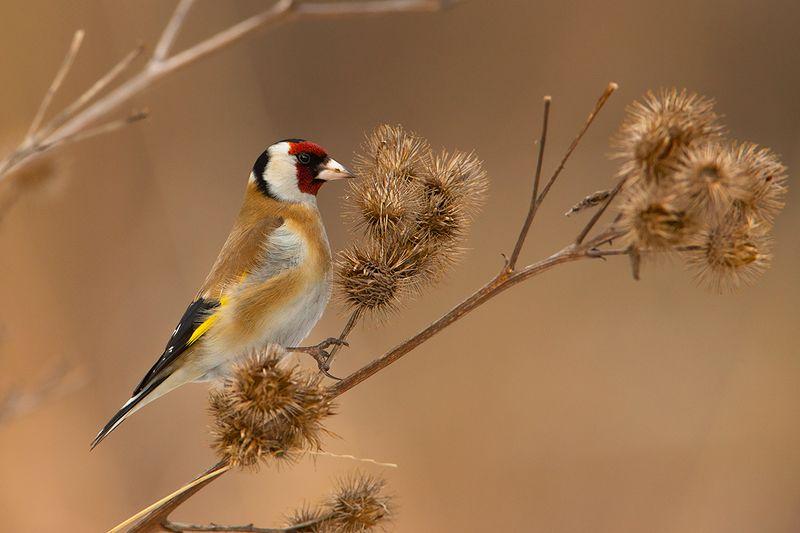 bird, wild,animals ,poland Черноголовый щеголphoto preview