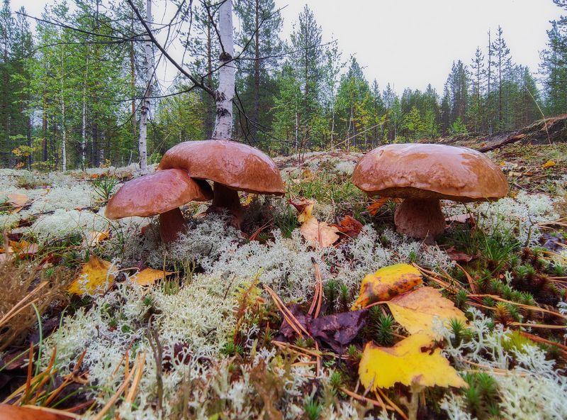 печора, лес, север Предосенний лес севераphoto preview