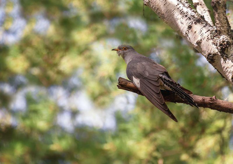 птица, кукушка, самец, кукушка..photo preview