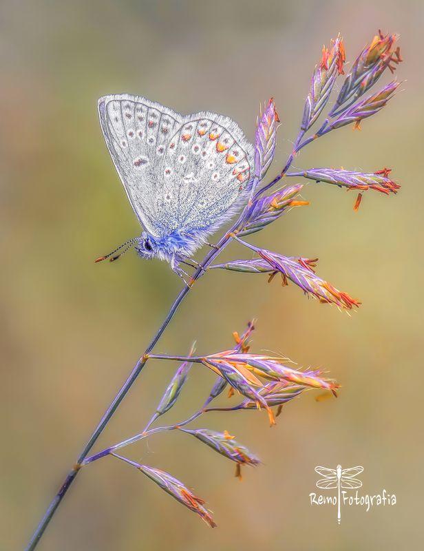 Modraszek ikar- Polyommatus icarusphoto preview