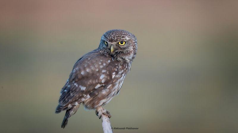 wildlife, совы, owl Бывалыйphoto preview