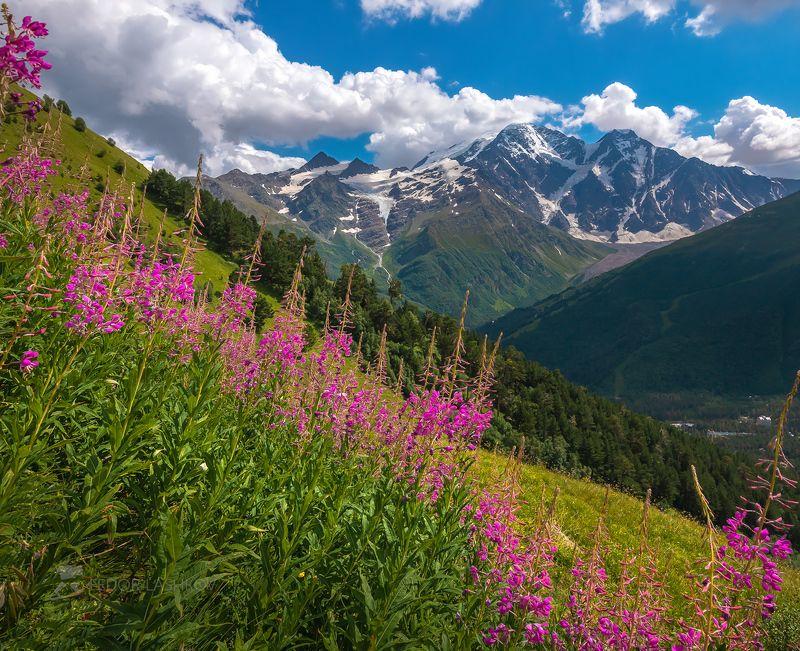 Северный Кавказ, Кабардино-Балкарская, Терскол, Кавказский хребет, лето, альпийские луга, иван-чай, цветение, путешествие, горы, Национальный парк Приэльбрусье, днём, зелёное, ледник, Баксанское ущелье, лес, цветы,  Иван-чай в Приэльбрусьеphoto preview