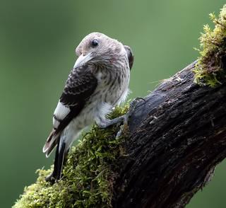 Juvenile. Red-headed woodpecker Красноголовый меланерпес. Молодой