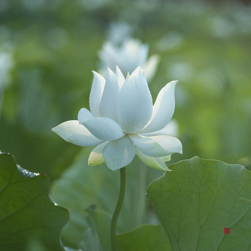 Lotus #7photo preview