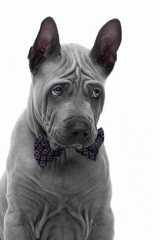 собака, животное, dog, тайский риджбек, щенок, взгляд Джентльмена обиделиphoto preview