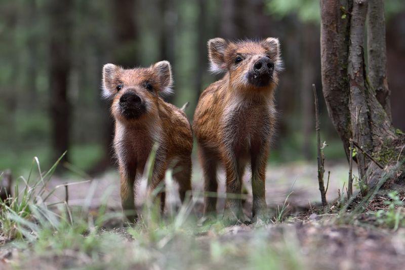лес,животные,кабаны братаныphoto preview
