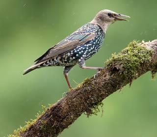 Juvenile European Starlings Molting - Молодые Линяющие Скворцы