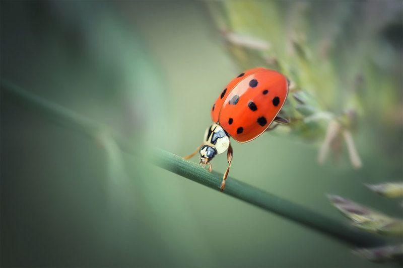 макро, божья коровка, ladybug, macro Фитнес от леди жукаphoto preview