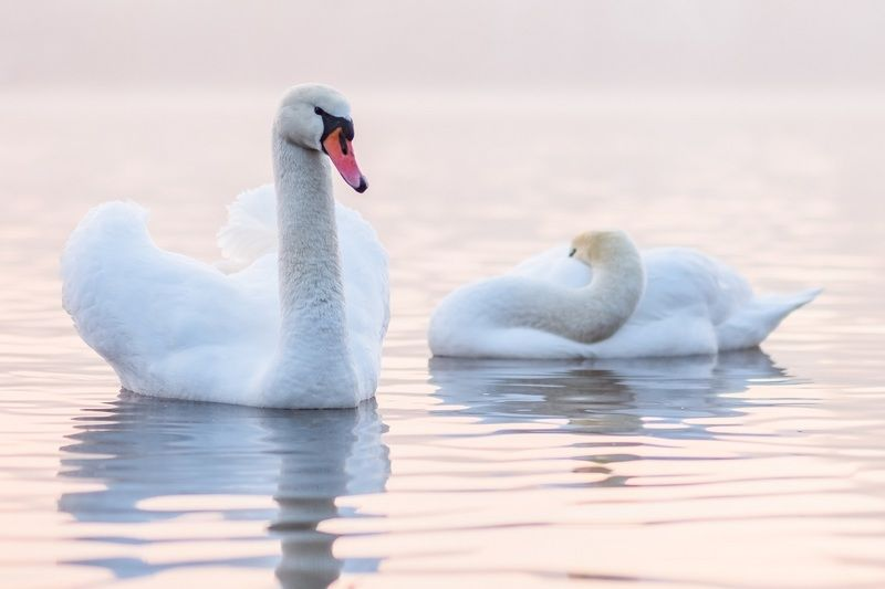 swans, white, animal, bird, nature, city birds, prague, river, vltava, река, прага, лебеди Swans in Praguephoto preview