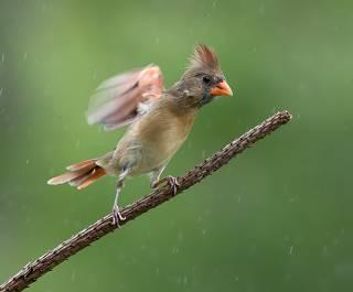 Female. Northern Cardinal  - cамка.Красный кардинал
