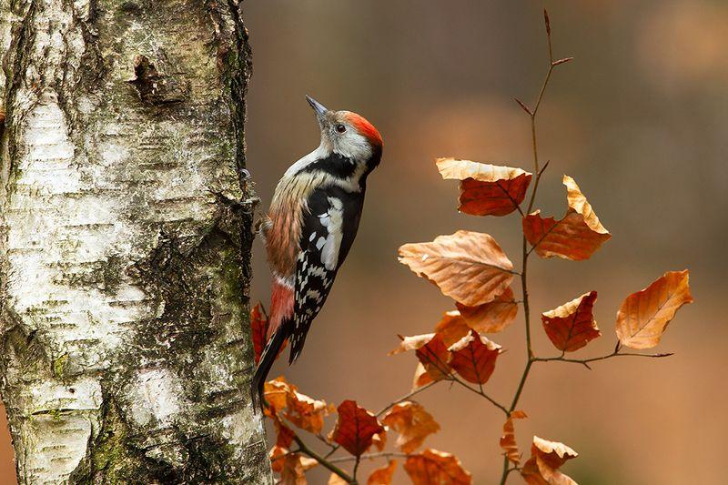 bird, wild,animals ,poland,katowice Средний пёстрый дятелphoto preview