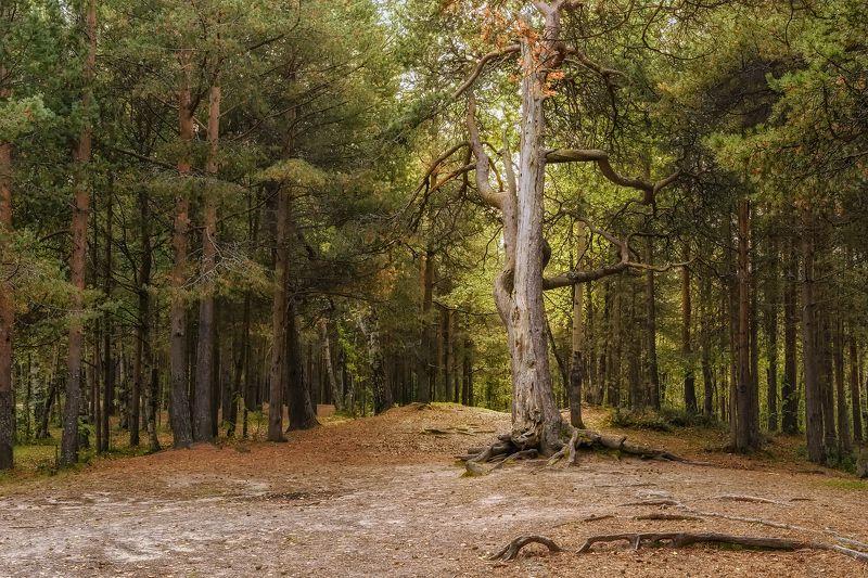 лес поляна сосны деревья Лесная полянаphoto preview