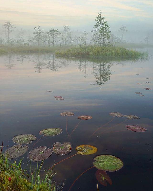 болото, утро, туман Кувшинкиphoto preview