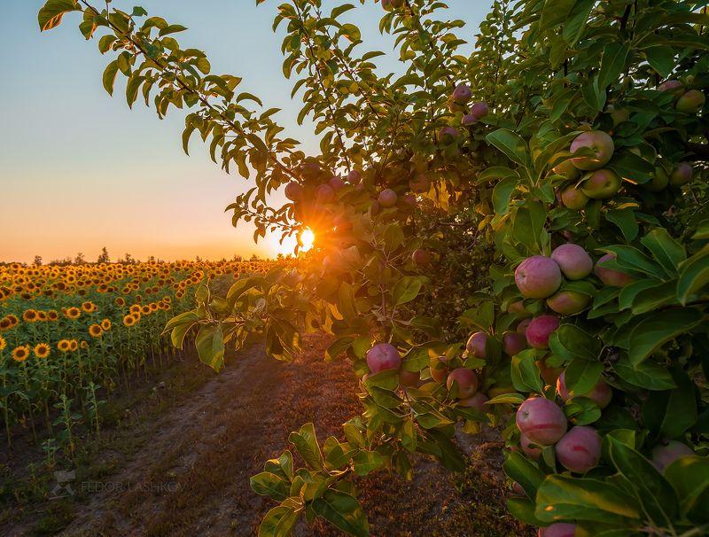 лебедянский район, липецкая область, агроном сад, сад, яблоки, урожай, уборка, труд, люди, хозяйство, плод, яблочное, закат, Урожай яблокphoto preview