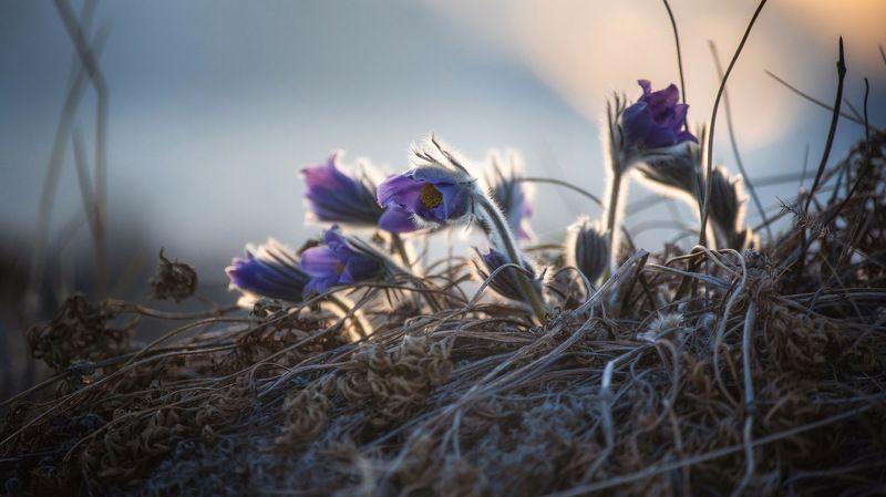 сон трава,цветы, подснежники, цветы в песках просто сон...photo preview