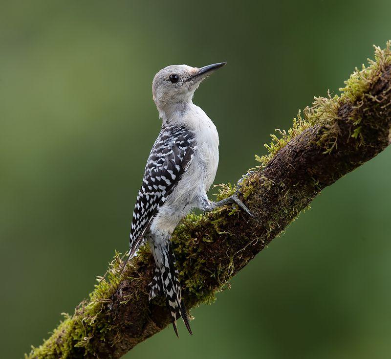 дятел, каролинский меланерпес, red-bellied woodpecker, woodpecker Juvenile -Red-bellied Woodpecker. Молодой дятел - Каролинский меланерпесphoto preview