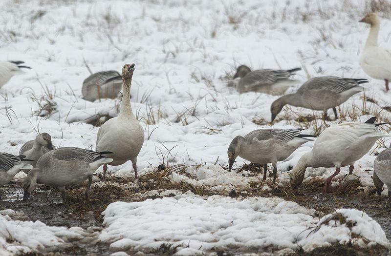 чукотка арктика гусь белый перелет снег осень Вот такой конец лета....photo preview
