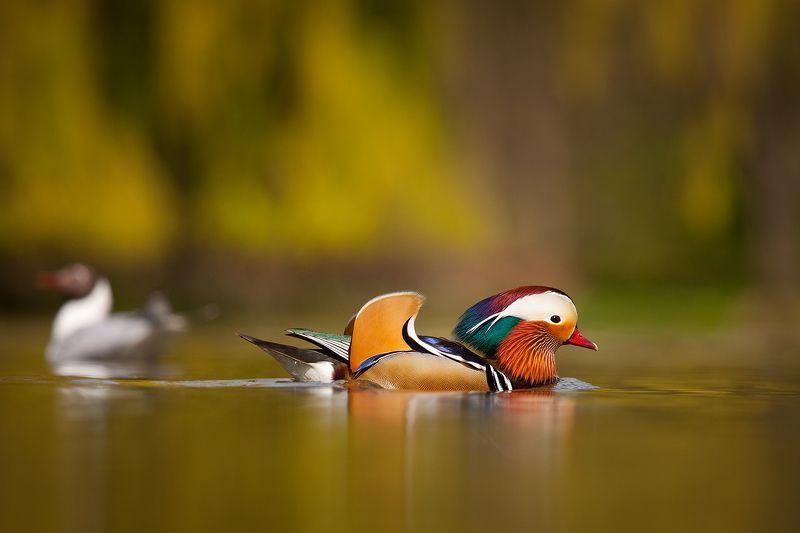 Mandarin duckphoto preview