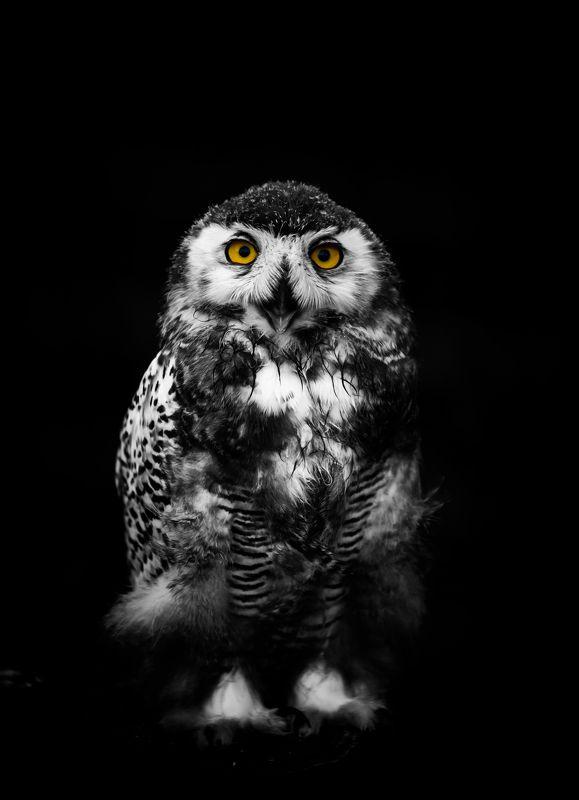 сова, птица, животное, анималистика, глаза Портрет полярной совы. photo preview