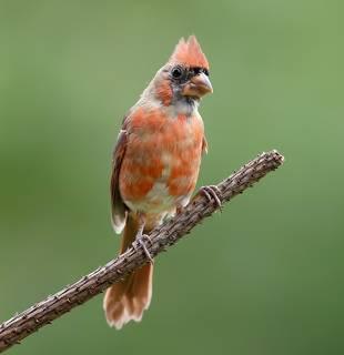 Juvenile Northern Cardinal male - Красный кардинал