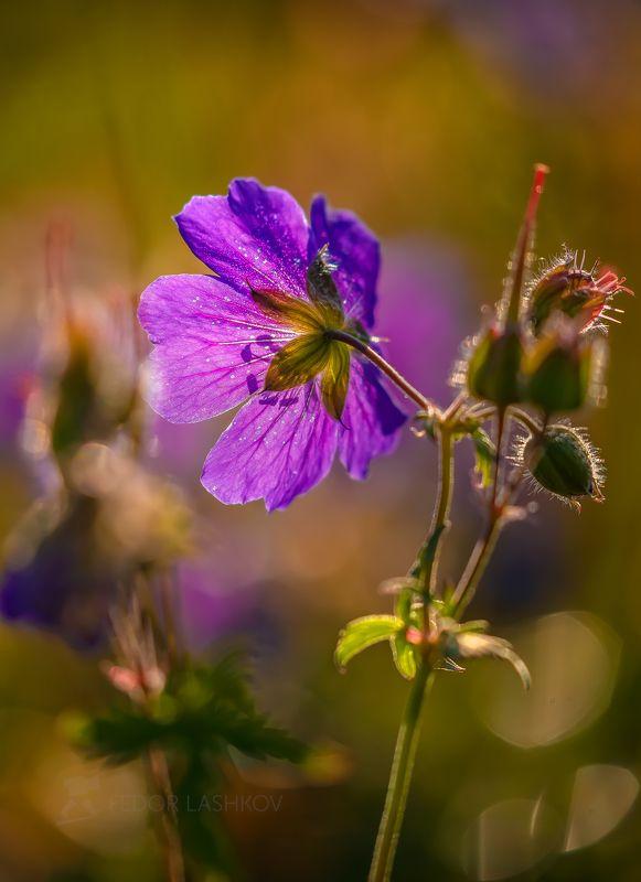 Северный Кавказ, макро, цветы, луг, рассвет, солнце, роса, жёлтый, боке, трава, цветение, лето, летнее,  Утренний сонphoto preview
