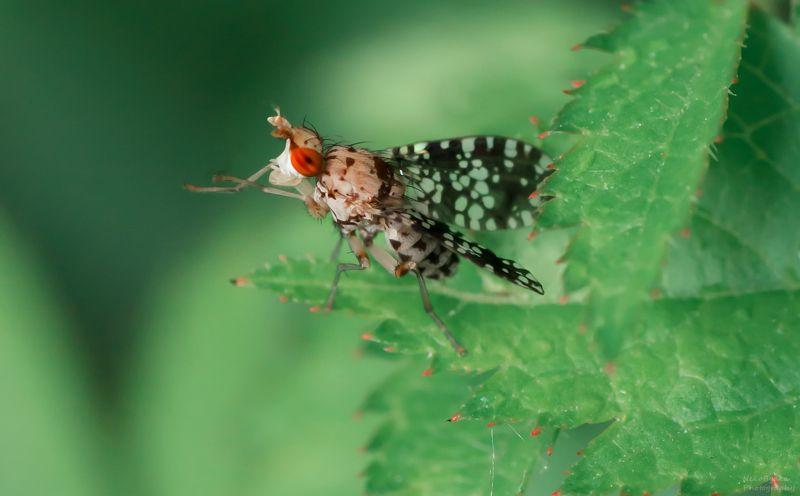макро, природа, муха, тенница, macro, nature, fly, насекомые, insect, sciomyzidae, brachycera, marsh flies Тенница крапчатая (точечная, Trypetoptera punctulata)photo preview