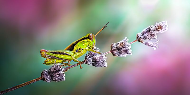 hopper, grass hopper, sage, lavender, macro, insect, bug, russian sage, Morning hikephoto preview