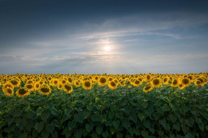Тульская область, подсолнухи, природа, поля, пейзаж, Россия Подсолнухов стройные ряды. photo preview