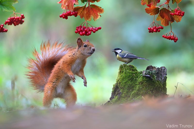 белка, синица, squirrel Тут у нас в лесу такое!  Сойка с дятлом на заборе..photo preview