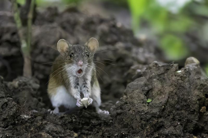 мышь, удивление, лес Крайнее удивлениеphoto preview