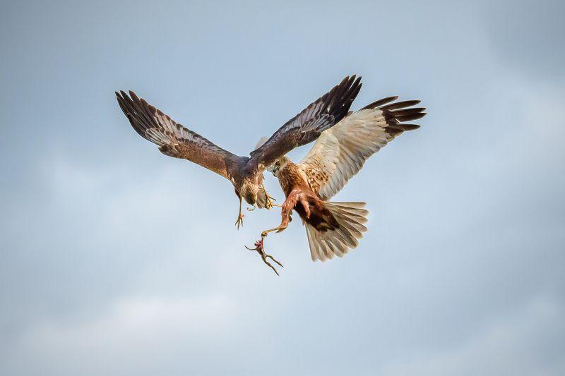 болотный лунь, битво, бой, хищник, circus aeruginosus, в воздухе Воздушный бойphoto preview
