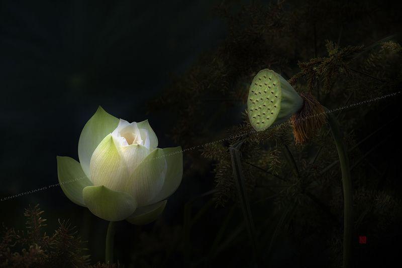 Lotus #5photo preview