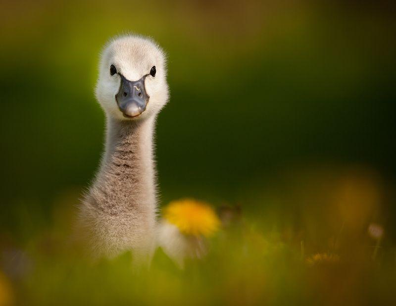 Black swan babyphoto preview