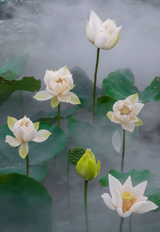 Landscape, Flower, Lotus, Nikon, Vietnam White Lotus Flower photo preview