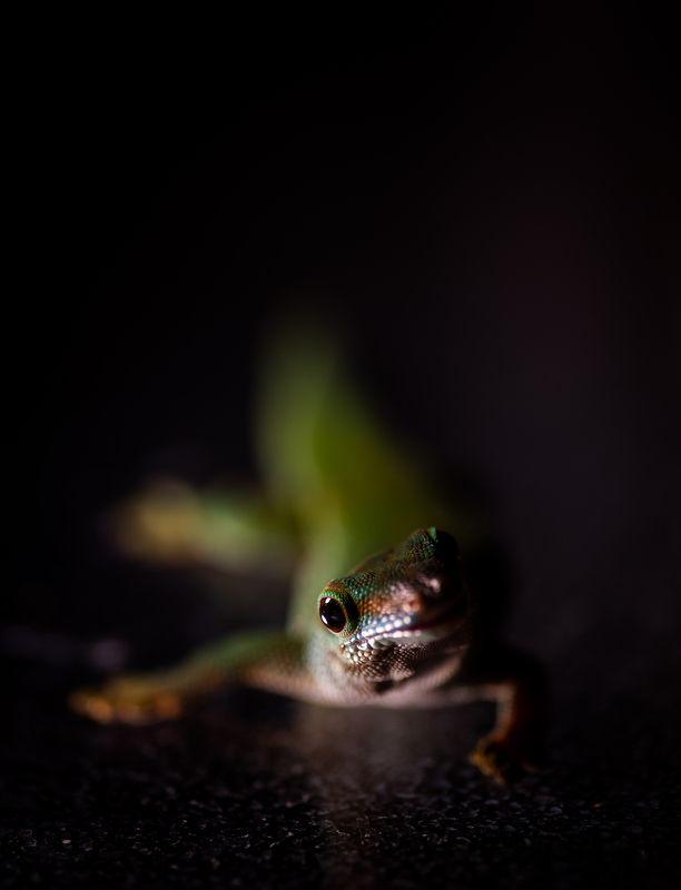 фельзума, ящерица, макро, рептилии Фельзума.photo preview