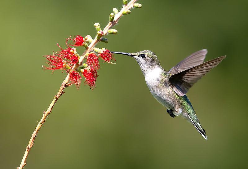 колибри,ruby-throated hummingbird, hummingbird Колибри - Female. Ruby-throated Hummingbirdphoto preview