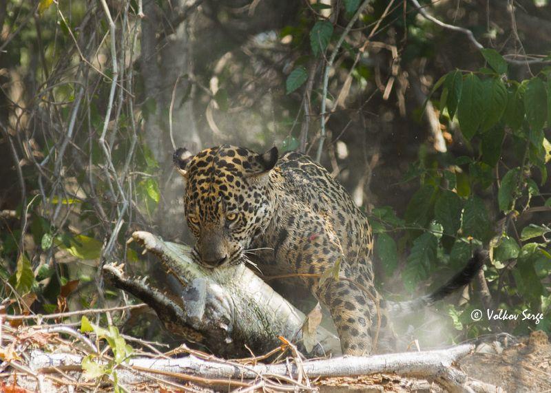 ягуар, кайман, бразилия, пантанал, wildlife, panthera onca, jaguar, felidae, pentax Неоспоримое преимуществоphoto preview