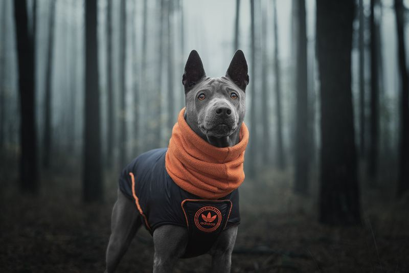 собака, животное, dog, тайский риджбек photo preview