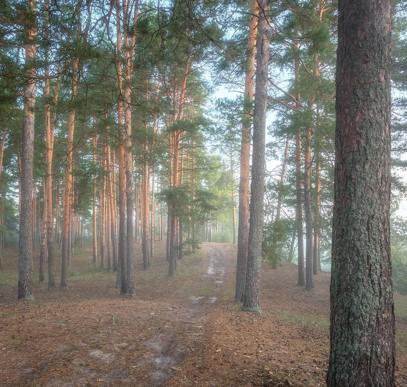 Утро в сосновом лесуphoto preview