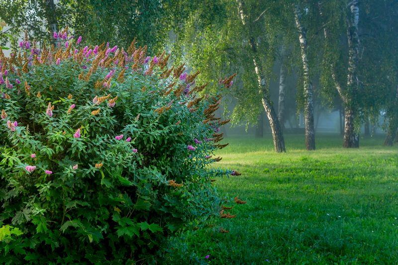 утро, цветы, туман, березки Цветы салютуют началу дняphoto preview