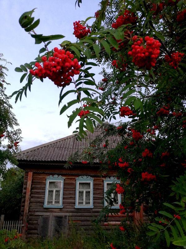 деревня, пейзаж, рябина, домик, изба, деревянный дом, лето В любимой деревне. photo preview