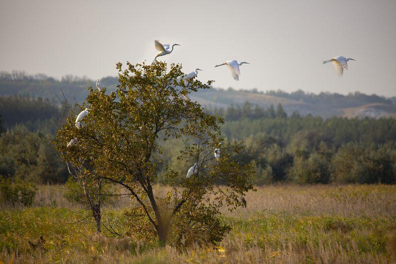 белые цапли Птичий базарphoto preview