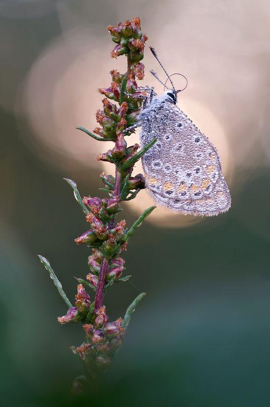 Бабочка, роса, утро Голубянка в утренней росеphoto preview