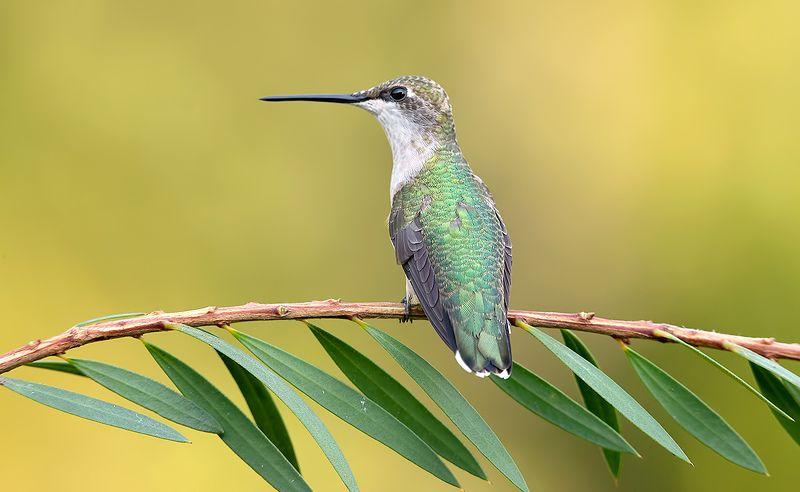 колибри,ruby-throated hummingbird, hummingbird Female Ruby-throated Hummingbird -Самки. Рубиновогорлый колибриphoto preview
