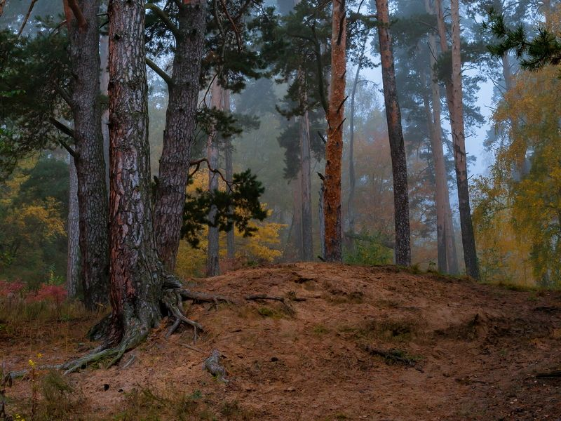 Сосны, туман, осень, утро Сонный лесphoto preview